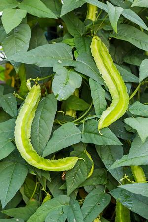 bean plant: Winged Bean Plant Stock Photo