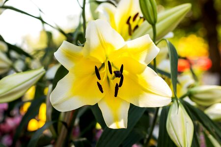Beauty yellow lilly