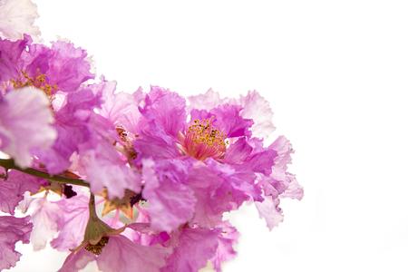 Lagerstroemia macrocarpa Wall Flower,Lythraceae,Queens flower.
