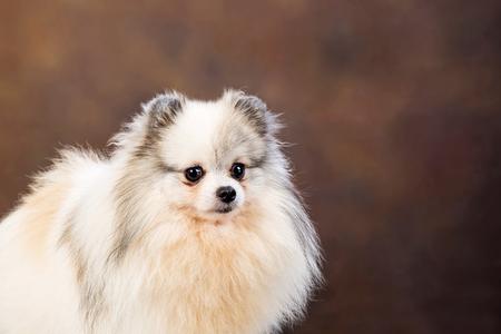White Pomeranian Stock Photo
