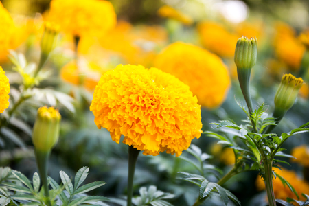 Yellow Marigold flowers - (Tagetes erecta, Mexican marigold, Aztec marigold, African marigold)