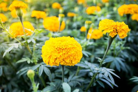 노란색 메리 골드 꽃 - (메리 골드 erecta, 멕시코 메리 골드, 아즈텍 메리 골드, 아프리카 메리 골드)