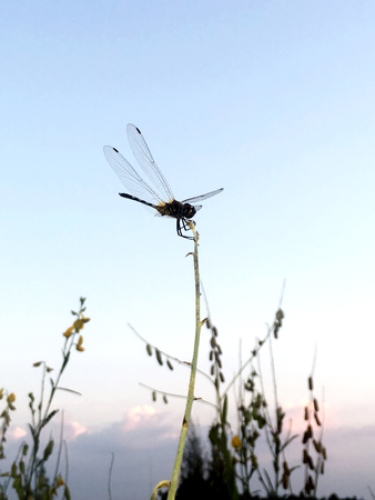Dragonfly on a stick with a dusk sky behind, soft focus 写真素材