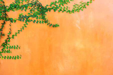 Orange Wall background with green ivy plant. Stock Photo