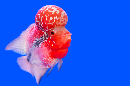 Flowerhorn Cichlid fish on blue background