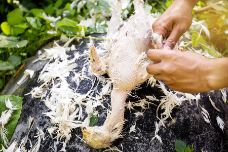 Plucking chickens for cooking Stock Photo