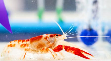 Crayfish in the tank