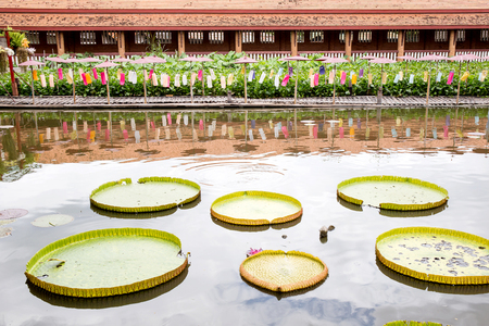 Victoria Amazonica of huge lotus leafs over water