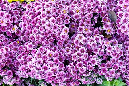 Beautiful of Pink Garden Dahlia flower
