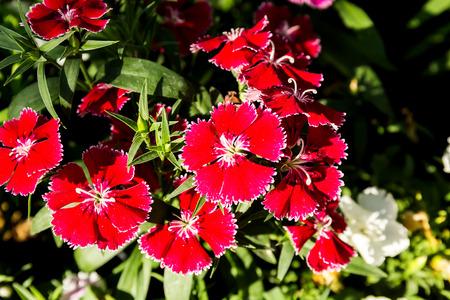 Dianthus flower (Dianthus chinensis) blooming in garden