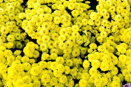 Beautiful of yellow Garden Dahlia flower