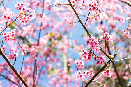 Wild Himalayan Cherry flower (Prunus cerasoides),Giant tiger flower in Thailand, selective focus