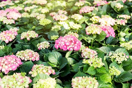 Pink Hydrangea flower (Hydrangea macrophylla) in a garden.