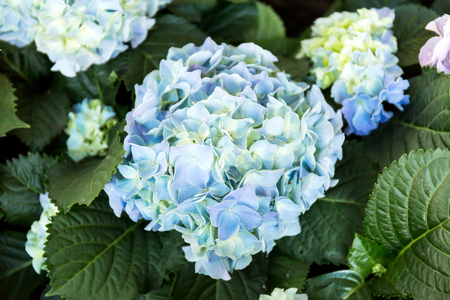 Blue Hydrangea flower (Hydrangea macrophylla) in a garden. Foto de archivo - 121176248