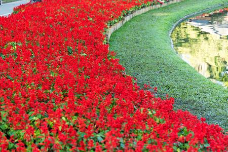 Red Salvia (Salvia splendens) in garden 版權商用圖片