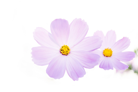 Pink cosmos flower isolated on white background.