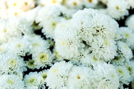 Beautiful of White Garden Dahlia flower