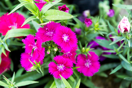 Dianthus flower (Dianthus chinensis) blooming in garden