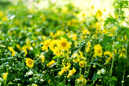 Chrysanthemum flowers in the garden