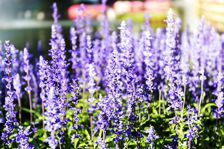 Blue salvia (Blue sage) Beautiful flowers Foto de archivo - 121176278