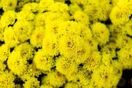 Beautiful of yellow Garden Dahlia flower Foto de archivo - 121176282