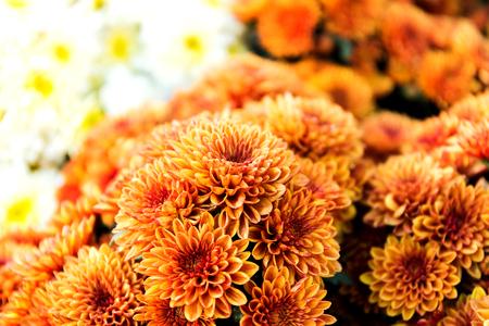 Beautiful of Orange Garden Dahlia flower