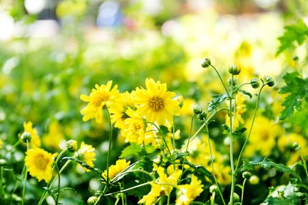 Chrysanthemum flowers in the garden Foto de archivo - 121176288
