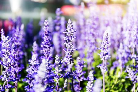 Blue salvia (Blue sage) Beautiful flowers 版權商用圖片