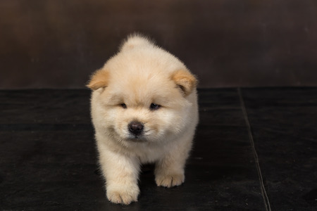 fluffy chow-chow puppy(40 day)