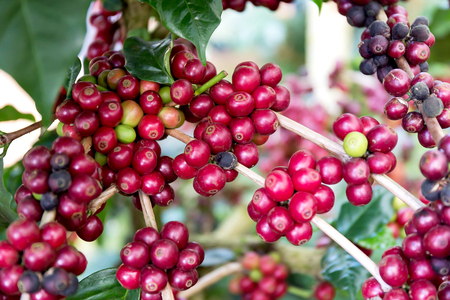Coffee beans on tree, Thailand 版權商用圖片
