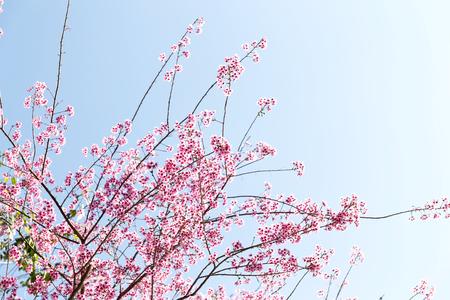Fiore di ciliegio himalayano selvatico (Prunus cerasoides), fiore di tigre gigante in Thailandia, messa a fuoco selettiva Archivio Fotografico