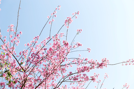 Wild Himalayan Cherry flower (Prunus cerasoides),Giant tiger flower in Thailand, selective focus Foto de archivo - 121176315
