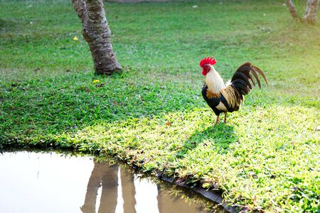 Red chicken hen outside walking in a backyard