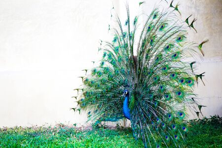 Peacock with feather detail, peacock wallpaper Imagens