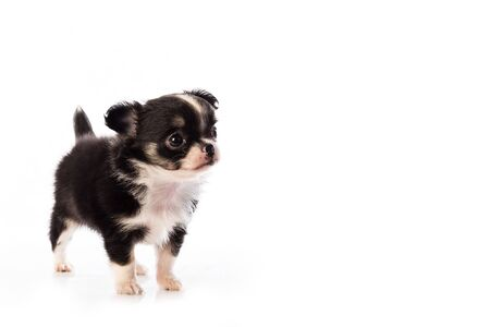 Chihuahua puppy, 45 days old, isolated on white white background. Imagens