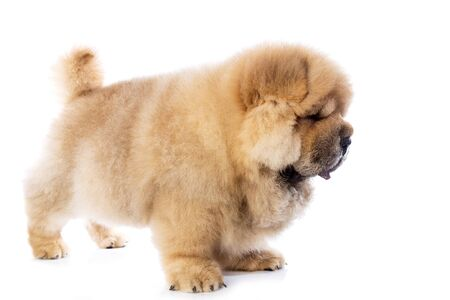 fluffy chow-chow puppy (40 days old)