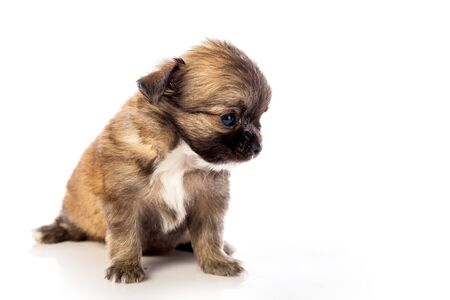Chihuahua puppy, 45 day old, isolated on white white background.