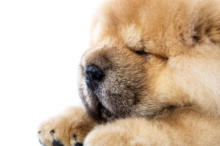 fluffy chow-chow puppy (40 day old)
