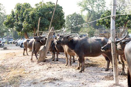 Thai buffalo, common buffalo in farm