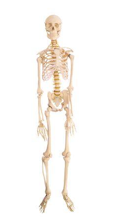 human skeleton isolated on white background Imagens