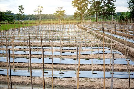 Eggplant agriculture at farm.Eggplant cultivation background