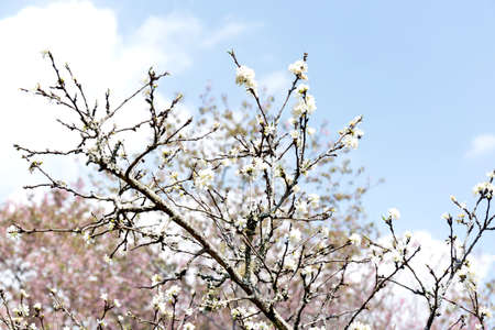 Beautiful white blooming peach tree in early spring Imagens