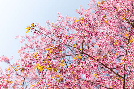 Blossom of Wild Himalayan Cherry (Prunus cerasoides) or Giant tiger flowe.