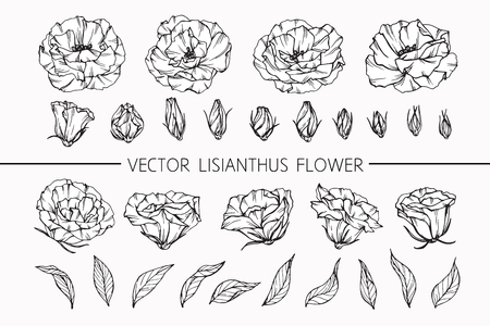 Lisianthus flowers drawing and sketch with line-art on white backgrounds. Stock Photo