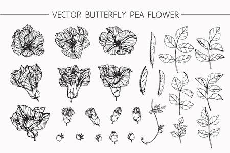 Butterfly pea flowers drawing and sketch with line-art on white backgrounds.