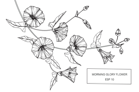 Morning glory flowers drawing and sketch with line-art on white backgrounds.