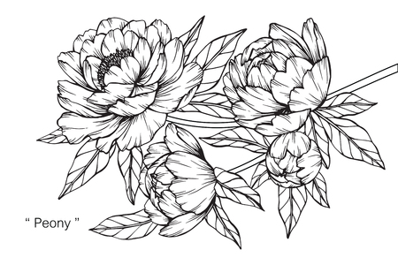 Peony bloem. Tekenen en schetsen met zwarte en witte lijntekeningen.