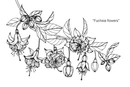 Fuchsia flower. Drawing and sketch with black and white line-art.