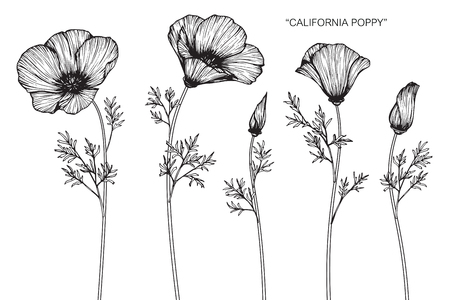 California poppy flowers drawing and sketch with line-art on white backgrounds.