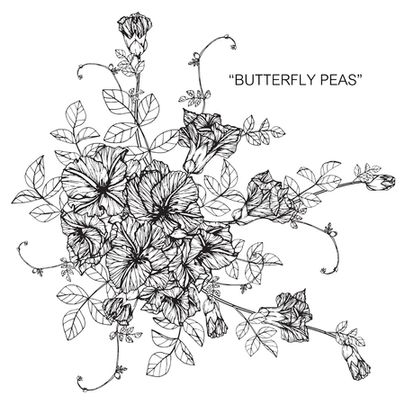Butterfly peas flower drawing and sketch with black and white butterfly peas flower drawing and sketch with black and white line art stock mightylinksfo